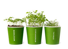Seedling of basil,coriander,thyme Royalty Free Stock Photo