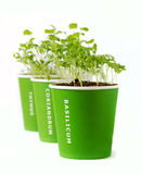 Seedling of basil,coriander,thyme Royalty Free Stock Photos