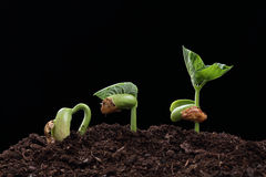 Seedling of bean seed in soil. Isolated on black Stock Photography