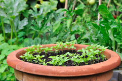 Seedling in a big pot Royalty Free Stock Photos