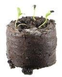 Seedling of black-caraway isolated on white background Stock Photo