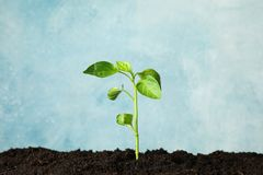 Seedling in black soil against light background, space for text. Environmental protection stock image