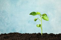 Seedling in black soil against light background, space for text. Environmental protection royalty free stock image
