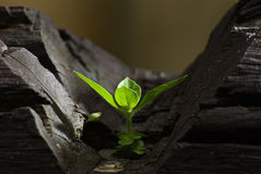 Seedling on black wood.  Royalty Free Stock Photos