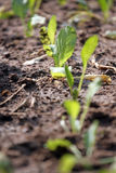 Seedling of Brassica. Stock Photography