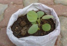 Seedling cabbage Stock Photo