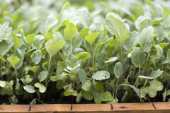Seedling cabbage stock images