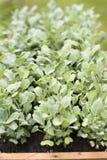 Seedling cabbage stock image