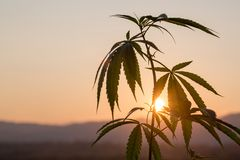 Seedling of cannabis, Cannabis leaves of a plant on the Sunset background medicinal agricultur stock image