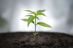 Seedling of cannabis, Growth of marijuana trees , Cannabis leaves of a plant on a dark background, medicinal agricultur.  royalty free stock photos