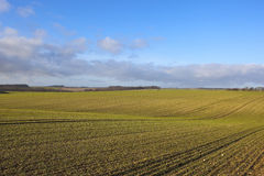 Seedling cereal crops Royalty Free Stock Images