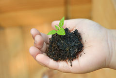 Seedling chili in child hand. Seedling chili on small hand Stock Photography