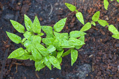 Seedling chili. Top view seedling chili growing on soil Royalty Free Stock Images