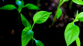 Seedling chilli Royalty Free Stock Photography
