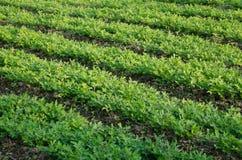 Seedling of chinese kale Stock Image