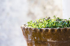 Seedling. Clover seedlings in a ceramic pot Royalty Free Stock Photo