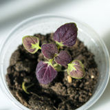Seedling of coleus Black Dragon close up Royalty Free Stock Photos