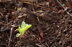 Seedling is coming out in early spring Stock Photography