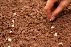 Seedling concept by human hand, Human seeding corn seed. In soil Stock Photo