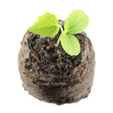 Seedling of Cucamelon or Melothria scabra with two green cotyledon leaves and true leaf in clod of soil isolated on white Stock Photo