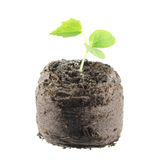 Seedling of Cucamelon Melothria scabra with two green cotyledon leaves and true leaf isolated on white backgroun Stock Image