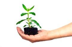 Seedling da terra arrendada da mão Fotos de Stock