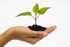 Seedling da terra arrendada da mão Imagens de Stock Royalty Free