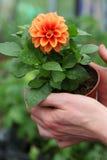 Seedling of dahlia Stock Photo