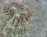 Seedling dandelion close-up in HDR and macro Royalty Free Stock Images