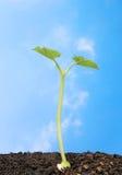 Seedling de encontro ao céu azul fotos de stock
