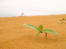 Seedling in desert. Small plant in sand desert Stock Image
