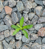 Seedling Desert. Plants. Tomatoes In Midst Of The Stones And Cracks. Royalty Free Stock Photo