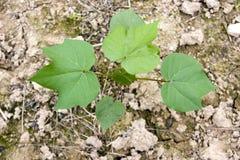 Seedling do algodão Fotografia de Stock