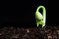 Seedling do botão Foto de Stock Royalty Free