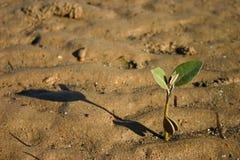 Seedling dos manguezais fotografia de stock