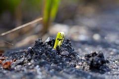 Seedling Emerges Through Tarmac. Germinated Seedling Emerges Through Solid Tarmac stock photo