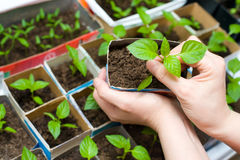 Seedling in female hands Stock Photos