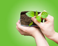 Seedling in female hands Royalty Free Stock Photos