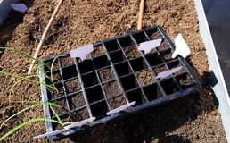 Seedling with first sprouts in black plastic stock image