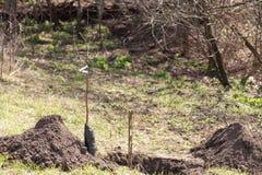 Seedling fruit tree near landing pit Stock Image
