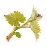 Seedling grape on white. Seedling grape with leaf isolated on white background Royalty Free Stock Image