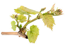 Seedling grape on white Stock Photography