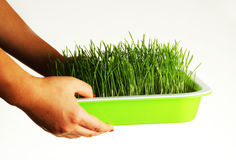 Seedling grass Stock Photo