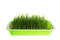 Seedling grass Stock Photography