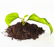 Seedling green plant on a white background Royalty Free Stock Photography