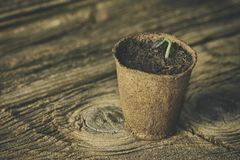 Seedling grow indoor. Sunflower seeds germinated. On wooden background Stock Image
