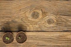 Seedling grow indoor. Sunflower seeds germinated. On wooden background Stock Photo