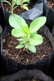 Seedling growing in the black bag. The Seedling growing in the black bag to the species Royalty Free Stock Photography