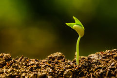 Seedling and growing Royalty Free Stock Photo