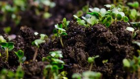 Growth microgreens, timelapse video filming. A seedling growing from the dirt time lapse video. Microgreens healthy food with vitamins stock footage
